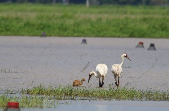 Five whooping crane chicks have hatched and fledged this summer in southwest Louisiana, marking a major milestone in the Louisiana Department of Wildlife and Fisheries whooping crane reintroduction project. The five chicks are the most to hatch in one year in the nascent project, which launched in 2011.