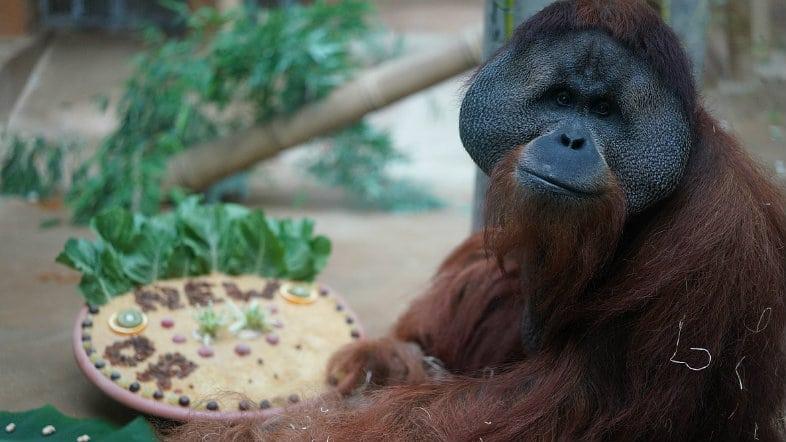 Jambi the Orangutan