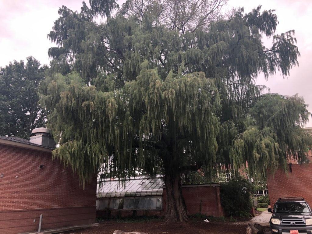 UL's Montezuma cypress tree