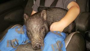 Lost piglet in Delcambre