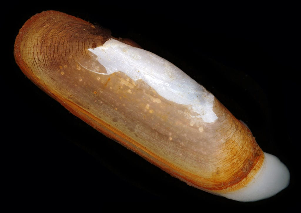 Photo caption: Razor clams are ubiquitous in the western Atlantic Ocean from Cape Cod to Argentina, and throughout the Gulf of Mexico. (Photo courtesy of Dr. Darryl Felder / University of Louisiana at Lafayette)